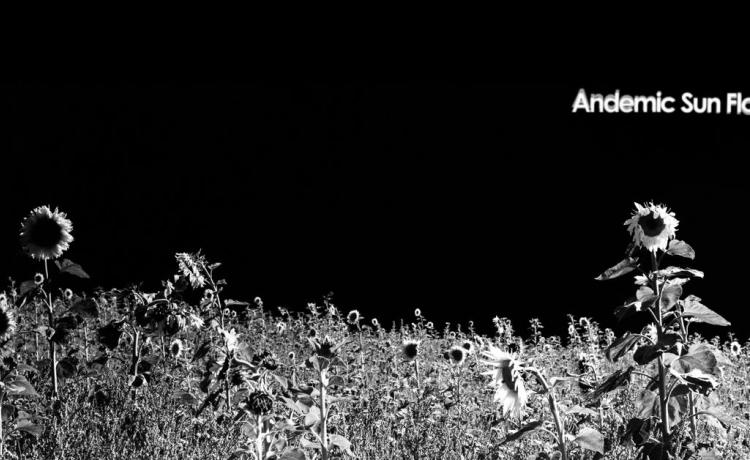 ANDEMIC SUN FLOWERS : le retour de DNA Noir